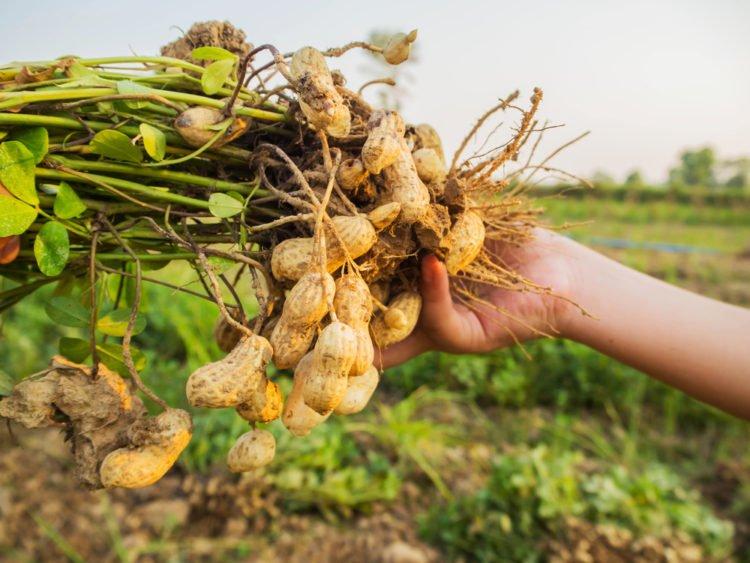 nuts | longevity live