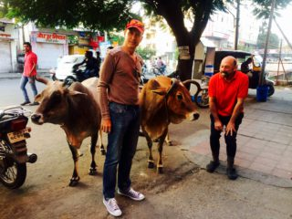 Sacred Cows on a Horse Safari in India