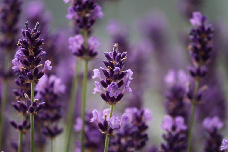 Lavender | Longevity LIVE