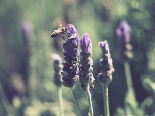 lavender [longevity live]
