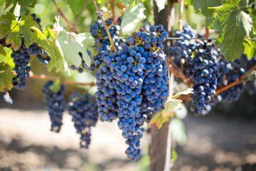 vinotherapy | Longevity LIVE
