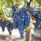 vinotherapy   Longevity LIVE