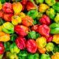 stuffed peppers | Longevity LIVE