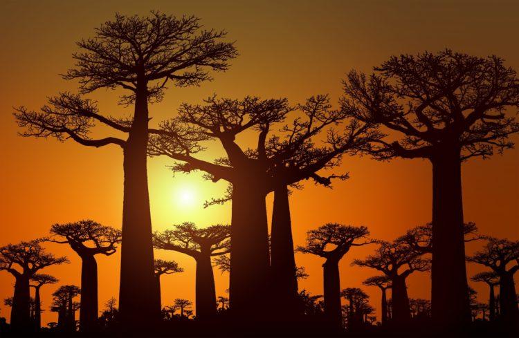 baobab   Longevity LIVE