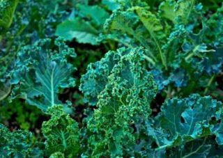 kale   Longevity LIVE