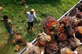 palm oil | Longevity LIVE